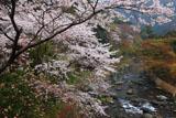 京都清滝 さくら咲く清滝川