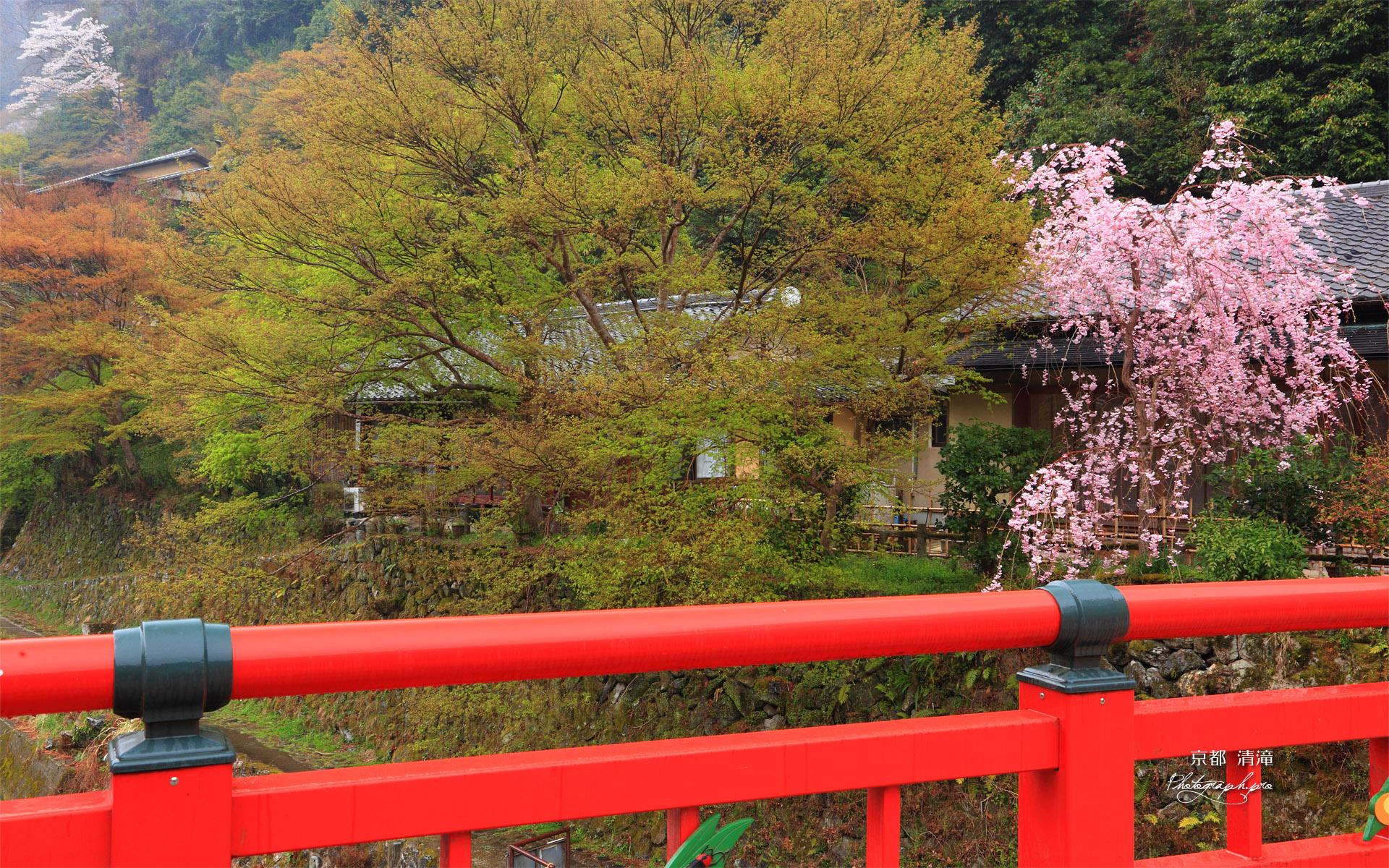 京都清滝 渡猿橋と紅枝垂桜