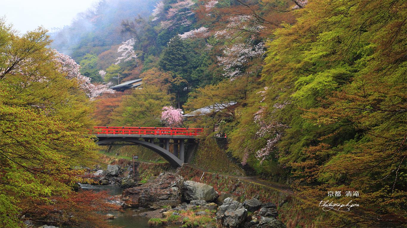 京都清滝 ヤマザクラと渡猿橋 壁紙