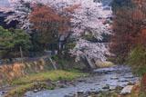 京都八瀬 ふるさとの桜