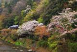 京都八瀬 桜と平八茶屋