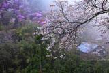 山桜と霧の西明寺山内