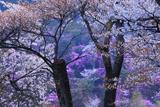 山桜と三つ葉ツツジ