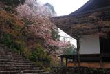 神護寺五大堂と山桜