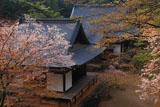 神護寺 桜の五大堂と毘沙門堂