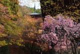 神護寺 枝垂桜と多宝塔