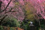 寂光院 紅枝垂桜と大原西陵