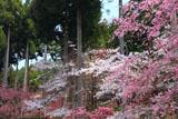 三千院の枝垂れ桜と北山杉