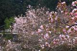 大原寺実光院 里桜と不断桜