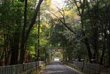崇道神社 参道の山桜