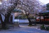 本隆寺 散桜に経蔵と祖師堂
