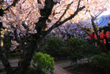 京都雨宝院 観音桜と松月桜