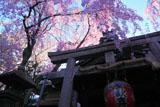 雨宝院 本堂と紅枝垂桜