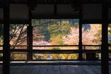 京都平岡八幡宮 拝殿越しの参道の桜
