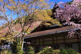 京都西明寺の枝垂桜と本堂