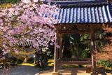 京都西明寺 枝垂桜と鐘楼