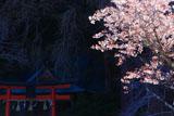 岩戸落葉神社のヤマザクラ