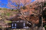 常照皇寺 左近の桜