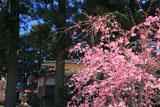 京都山国神社の枝垂れ桜