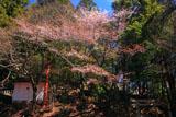 山国護国神社のヤマザクラ