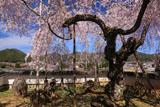 福徳寺 しだれ桜と弓削の里