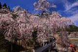 福徳寺 市天然記念物の桜
