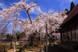 福徳寺 樹齢400年の枝垂桜