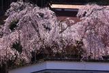 福徳寺 かすみ桜