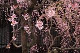 妙満寺 枝垂桜と大書院
