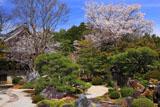 妙満寺 雪の庭の山桜