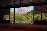 妙満寺 雪の庭のヤマザクラ