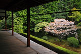 妙心寺桂春院 真如の庭の山桜