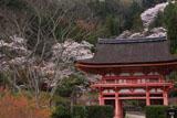 九品寺 大門と桜