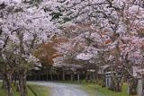 多治神社 参道の桜