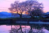 出雲大神宮 夕照の桜と宮池