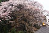 正福寺の山桜