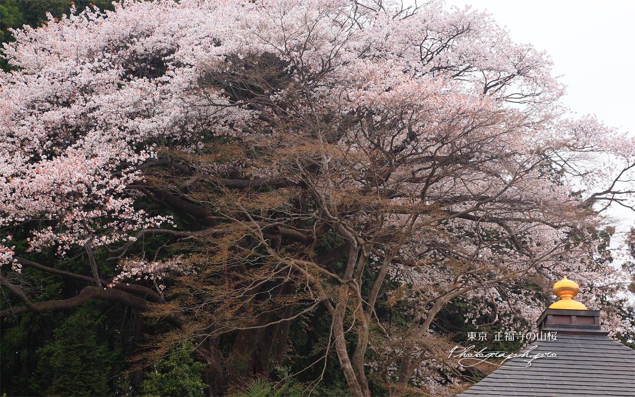 正福寺の山桜 壁紙