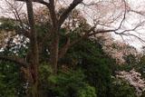 正福寺のヤマザクラ