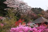 正福寺の山桜 三葉躑躅と花桃