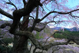 西丸尾の枝垂れ桜