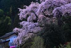 西丸尾のしだれ桜
