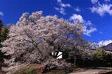 関のサクラとアサヨ峰