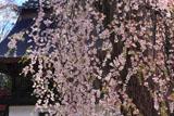 清光寺の枝垂れ桜