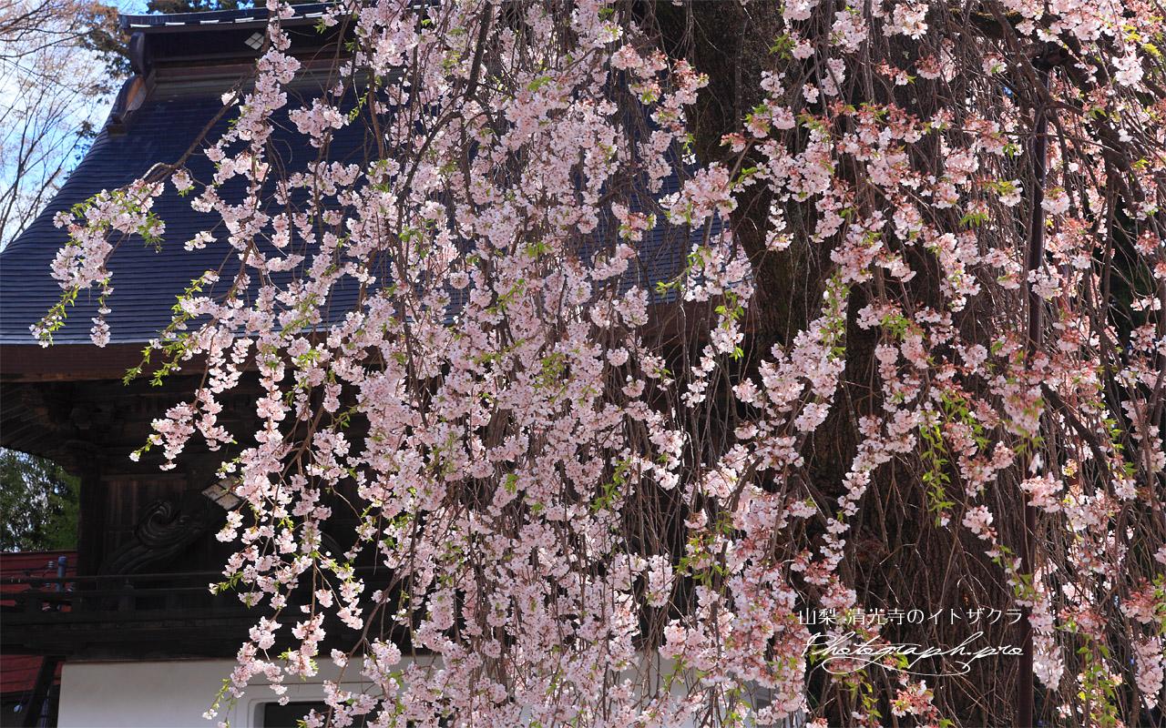 清光寺の枝垂れ桜 壁紙
