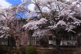 廃校の染井吉野と枝垂桜