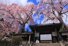 洞雲寺の江戸彼岸桜