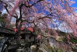 洞雲寺山門脇の枝垂れ桜