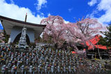 水子地蔵と洞雲寺の江戸彼岸桜