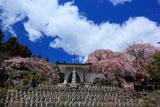 洞雲寺の江戸彼岸桜と雲