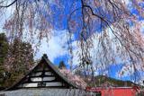 洞雲寺の枝垂れ桜と本堂